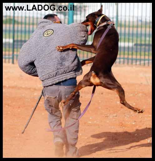 אולג - מאלף כלבים מקצועי מצוות מאלפי לה דוג בתרגיל הגנה עם דוברמן