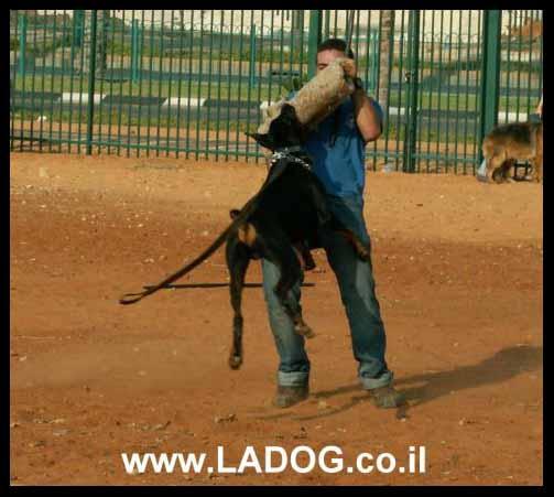 עידן -מאלף כלבים מצוות מאלפי ladog בתרגיל הגנה עם דוברמן