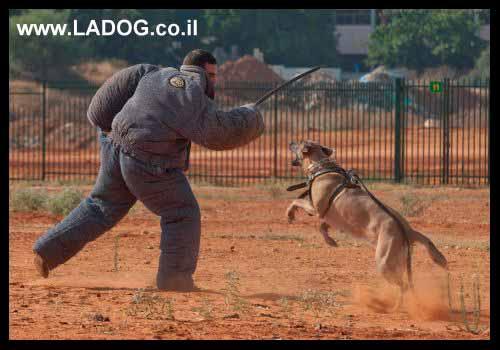 עידן - מאלף כלבים מקצועי בתירגול עם רועה בלגי מלינואה