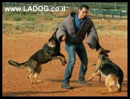 אורן אלעמרי מאלף ומנהל LADOG בתרגיל הגנה עם שני כלבי רועה גרמני