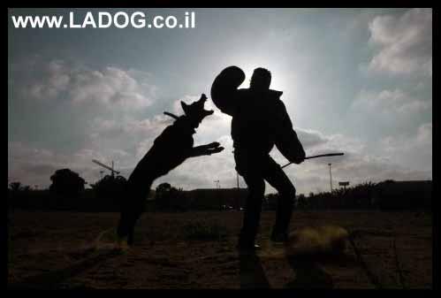 אורן אלעמרי בתגיל הגנה עם כלב רועים גרמני על חליפה
