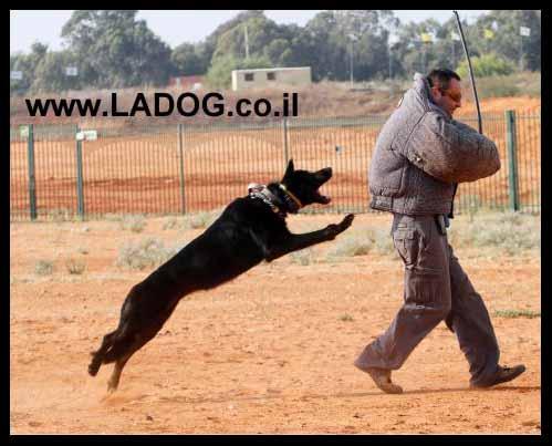 אולג בתרגיל תקיפה עם כלב רועים גרמני קו עבודה שחור