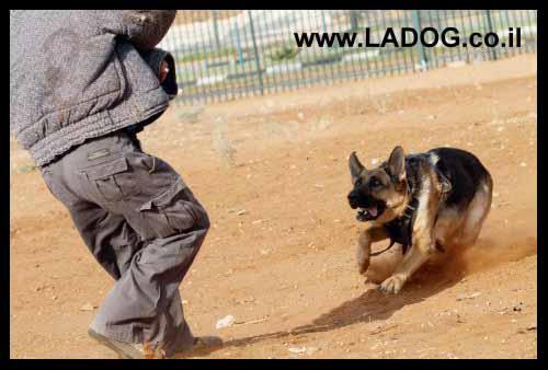 כלב רועים גרמני במרדף