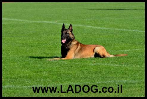 אילוף מקצועי לכלבי רועה בלגי מלינואה - LADOG - מרכז לאילוף כלבים