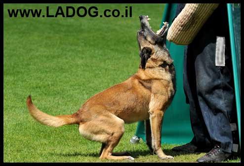 מלינואה בשמירה על אובייקט - LADOG - אילוף כלבים מקצועי