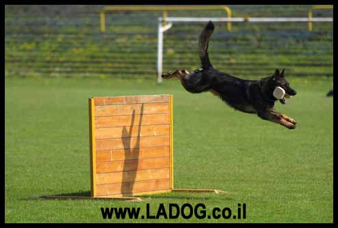 כלב רועים גרמני קו דם עבודה בתרגיל קפיצה עם משחק בפיו