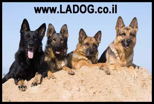כלבי רועה גרמני מקווי עבודה וקווי תערוכה