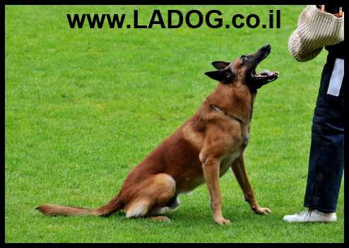 זכר מלינואה בוגר בתרגיל הגנה - LADOG - אילוף מקצועי לכלבי רועה בלגי מלינואה